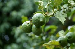 Limes on the tree Royalty Free Stock Photos