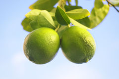 Limes on a tree Stock Photos