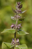 Limestone or Alpine Woundwort Royalty Free Stock Images