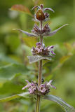 Limestone or Alpine Woundwort Stock Image