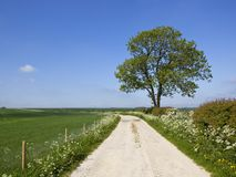 Limestone track and mature Ash tree in springtime. A limestone farm track near a mature ash tree and hawthorn hedgerow with wheat fields and wildflowers under a Royalty Free Stock Image