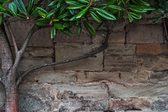 Limestone medieval wall of stone blocks texture background surface tree branch with green leaves Royalty Free Stock Images