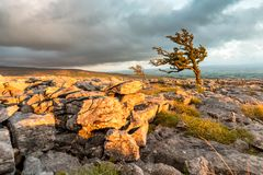 Limestone pavement, Yorkshire Dales, UK. A hawthorn tree at sunset on the limestone pavement in the Yorkshire Dales, UK Stock Photos