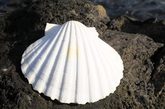 Limestone Sea Shell Royalty Free Stock Photography