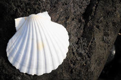 Limestone Sea Shell Stock Photo