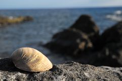 Limestone Sea Shell Stock Image