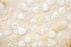 Limestone with Shells. Royalty Free Stock Photo