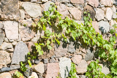 Limestone wall covered by Virginia creeper Royalty Free Stock Photo