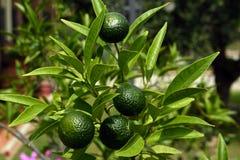 Limet树,托斯卡纳,意大利 库存图片
