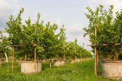 Limettenbäume Stockfotografie