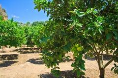 Limettenbäume in Agrigent - Tempeltal lizenzfreie stockfotos