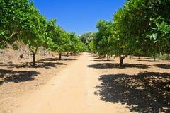 Limettenbäume in Agrigent - Tempeltal lizenzfreie stockbilder