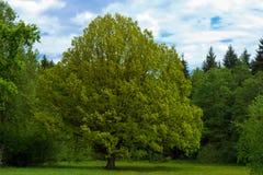 Limettenbaum Lizenzfreies Stockbild