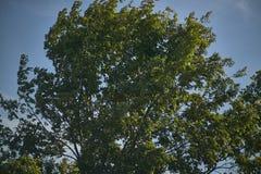 Limettenbaum bewegt durch den Wind Lizenzfreie Stockfotos
