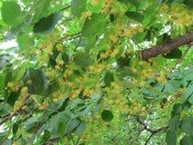 Limettenbaum in der Blüte Lizenzfreies Stockfoto
