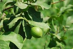 Limettenbaum, Meganissi Stockfotos