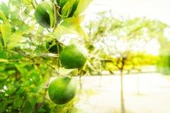 Limettenbaum mit Früchten Stockfotografie