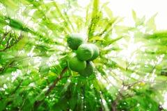 Limettenbaum mit Früchten Stockbild