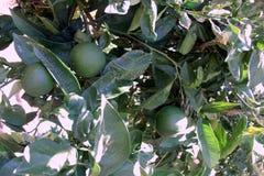 Limettenbaum mit Früchten Lizenzfreies Stockbild