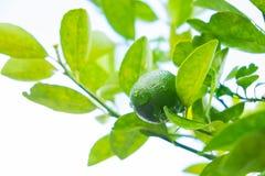 Limettenbaum mit Früchten Stockfotos