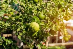 Limettenbaum mit Früchten Stockfoto