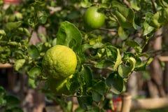 Limettenbaum mit Früchten Stockbilder