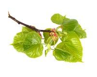 Limettenbaum Sprig Stockfotografie