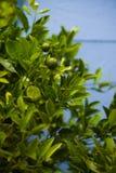 Limettenbaum vor dem hintergrund der hölzernen Wand Stockbild