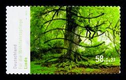 Limettenbaum, Wohlfahrt: Blühende Bäume serie, circa 2013 Stockfotografie