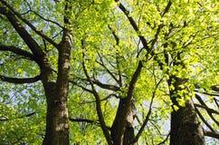 Limettenbaum-Zweigblatt-Stammgrün wachsen im Frühjahr Lizenzfreie Stockbilder
