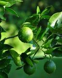 Limettes sur l'arbre avec le fond vert Photos stock