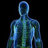 limfatyczny system Obraz Royalty Free
