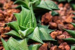 Limifolia de Haworthia, planta del cactus Fotos de archivo