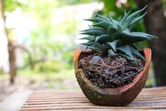 Limifora do haworthia do close-up Imagem de Stock Royalty Free