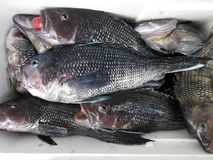 Limit of Fat Seabass Royalty Free Stock Photography