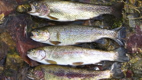 Limit of Rainbow Trout stock video footage