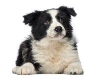 Limite Collie Puppy, 3 meses velha, encontrando-se para baixo e olhando acima fotografia de stock royalty free