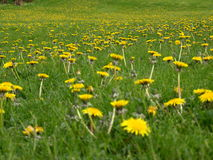 Limitless field of dandelion Stock Photos