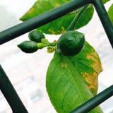 Limón que crece en un árbol Fotos de archivo