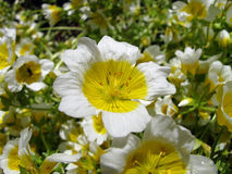 Limnanthes douglasii obraz royalty free