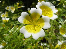 Limnanthes douglasii Royaltyfria Foton