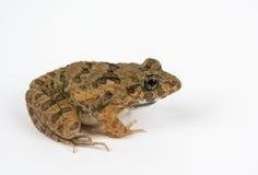 Limnocharis Rana, βάτραχος Ricefield στο άσπρο υπόβαθρο Στοκ Εικόνες