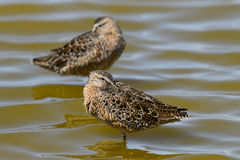Limnodromus scolopaceus, long-billed dowitcher Stock Photography
