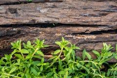 Limnophila aromatyczny, Limnophila geoffrayi Bonati zdjęcia stock