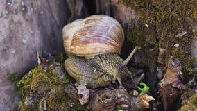 Limo del caracol en árbol almacen de metraje de vídeo