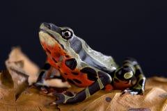 Limon harlequin frog Atelopus sp Limon Stock Photos
