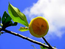 Limonade I van de citroen royalty-vrije stock foto's