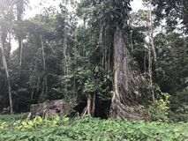 Limoncocha native tree royalty free stock photos