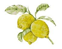 Limone in acquerello Immagini Stock Libere da Diritti