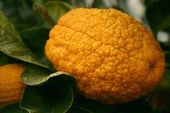 Limone arancione maturo con la buccia spessa Immagine Stock
